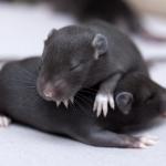 duo de ratons J12