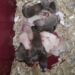tas de ratons J11