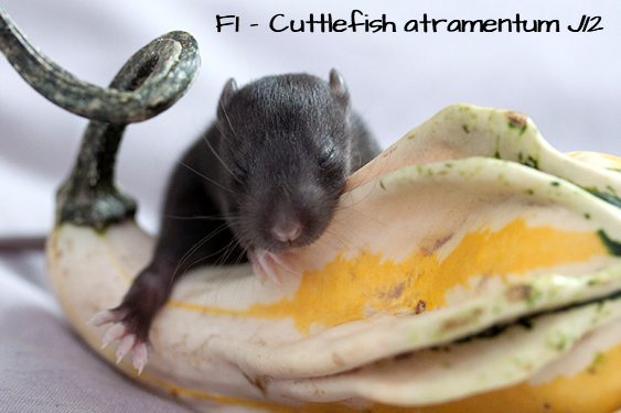 [59] ETR Hakuna Matata x ETR Adélaïde enigma edulis - Page 2 F1_Cuttlefish-2