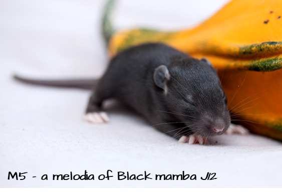 [59] ETR Hakuna Matata x ETR Adélaïde enigma edulis - Page 2 M5_black-mamba-1